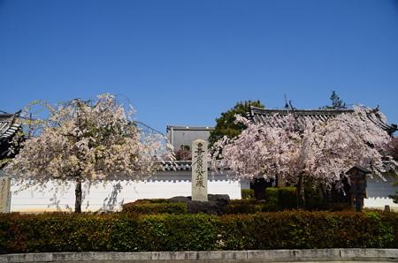 妙顕寺門前の八重紅枝垂れ