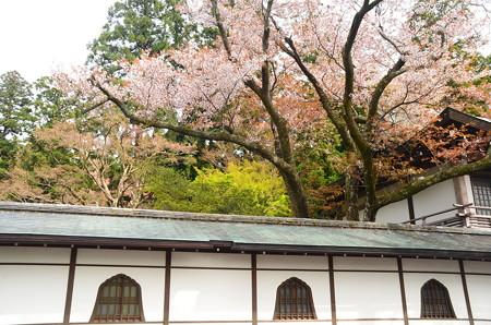 客殿の上の山桜