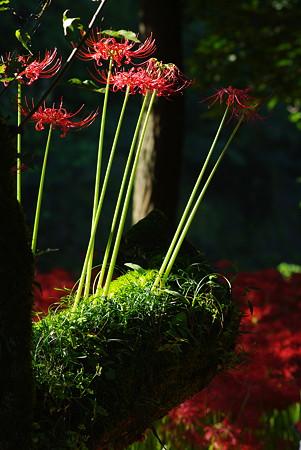 木の上で咲いた曼珠沙華