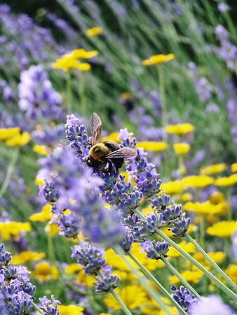 ラベンダー&ハチ