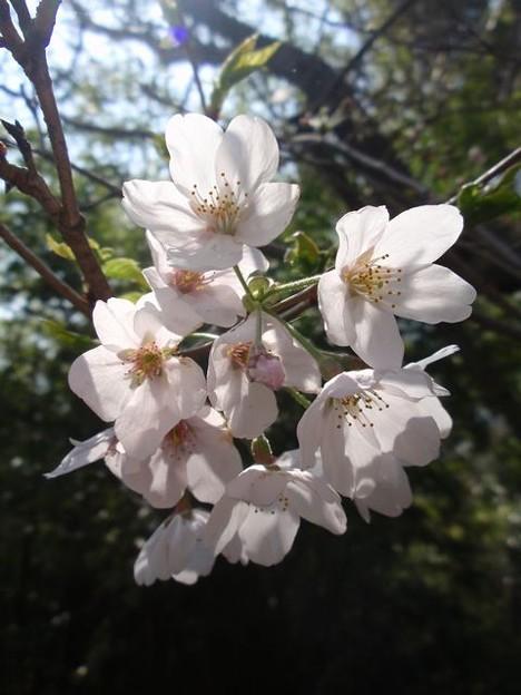 Photos: 桜~木漏れ日の下で
