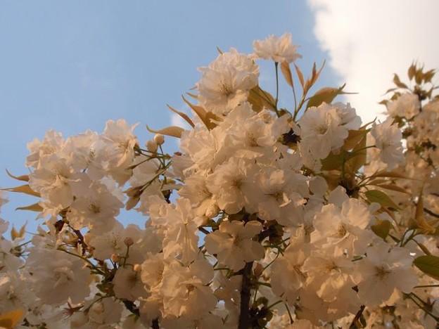 Photos: 白い桜
