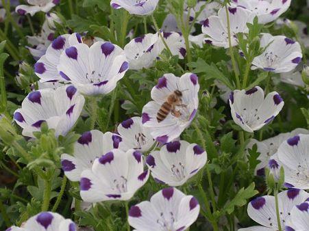 ネモフィラ&ハチ