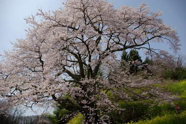是哉寺地蔵桜5