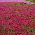 写真: 羊山公園芝桜22