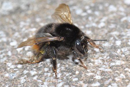 ミツバチ科 クロマルハナバチ