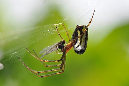 アシナガグモ科 チュウガタシロカネグモ