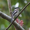 Photos: ヒタキサンショウクイ(Bar-winged Flycatcher-shrike) IMGP23374_R