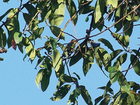 ミドリテリカッコー(Asian Emerald Cuckoo) IMGP48855_R