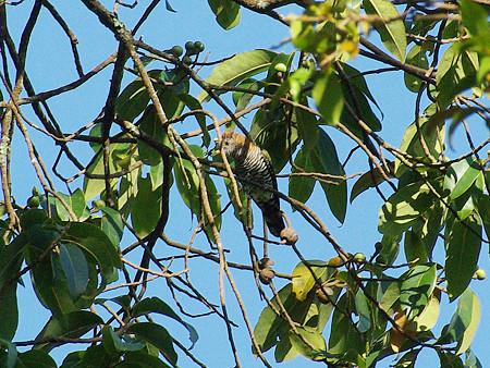ミドリテリカッコー(Asian Emerald Cuckoo) IMGP48843_R