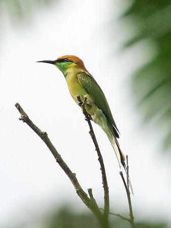 ミドリハチクイ(Green Bee-Eater) IMGP49982_R