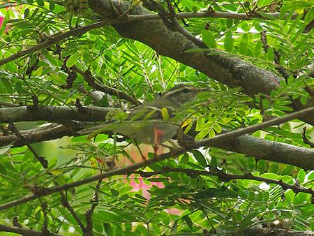 キマユムシクイ(Yellow-browed Warbler) IMGP49838_R(800)