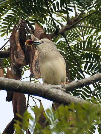 インドコムクドリ(Chestnut-tailed Starling) IMGP50399_R