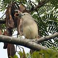 写真: インドコムクドリ(Chestnut-tailed Starling) IMGP50399_R
