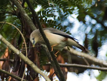 インドコムクドリ(Chestnut-tailed Starling) IMGP50376_R