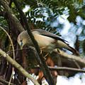 写真: インドコムクドリ(Chestnut-tailed Starling) IMGP50376_R