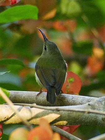 ムナグロタイヨウチョウ♀(Black-throated Sunbird) IMGP50612(LR)_R