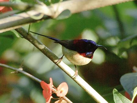 ムナグロタイヨウチョウ♂(Black-throated Sunbird) IMGP50572(LR2)_R