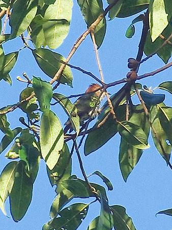 ミドリテリカッコー(Asian Emerald Cuckoo) IMGP48855(LR)-800R
