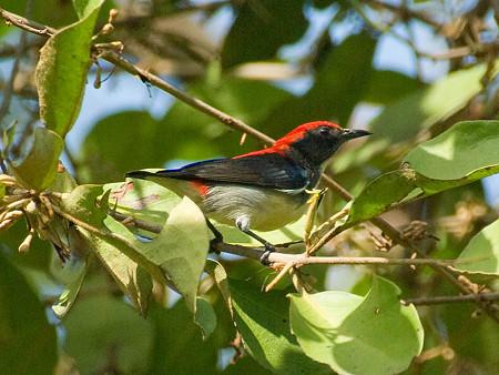 セアカハナドリ(Scarlet Flowerpecker) IMGP52014_R