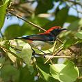 Photos: セアカハナドリ(Scarlet Flowerpecker) IMGP52014_R