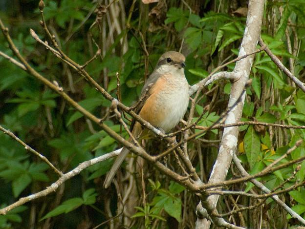 Photos: チベットモズ(Grey-backed Shrike) IMGP56505_R