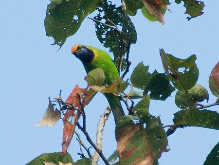 キビタイコノハドリ(Golden-fronted Leafbird) IMGP57297_R