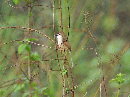 キンメセンニュウチメドリ(Yellow-eyed Babbler) IMGP113758_R