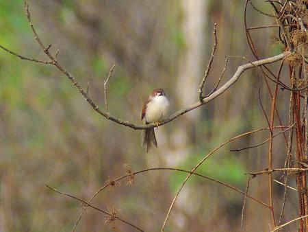 キンメセンニュウチメドリ(Yellow-eyed Babbler) IMGP113739_R