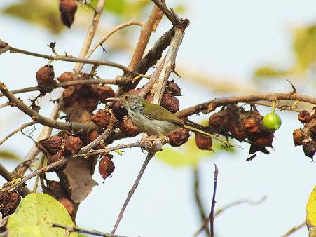 オナガサイホウチョウ(Common Tailorbird) IMGP115326_R3