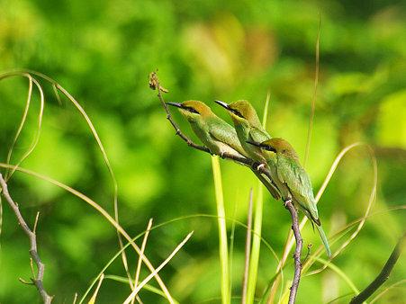 ミドリハチクイ(Green Bee-eater) IMGP118549_R