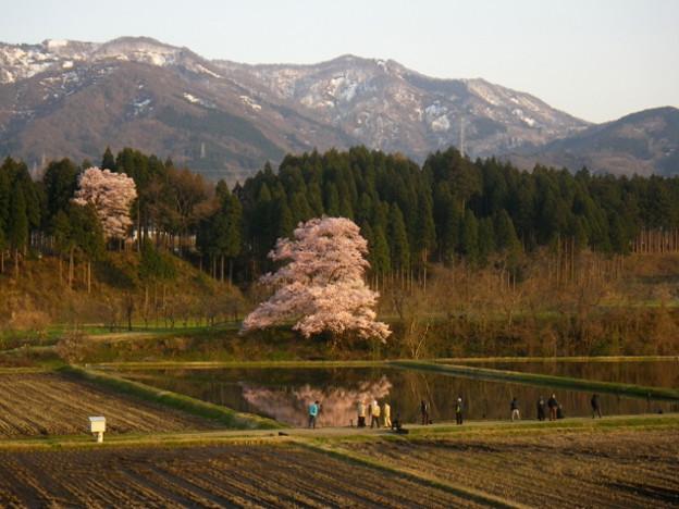 向野の桜とカメラマン