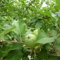 リンゴ(パインアップル)