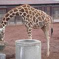 Photos: アミメキリン Somali Giraffe