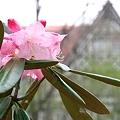 006 しゃくなげ2 2009年5月5日撮影 by ホテルグリーンプラザ軽井沢