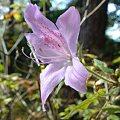Photos: モチツツジ(黐躑躅)ツツジ科ツツジ属に属する植物。