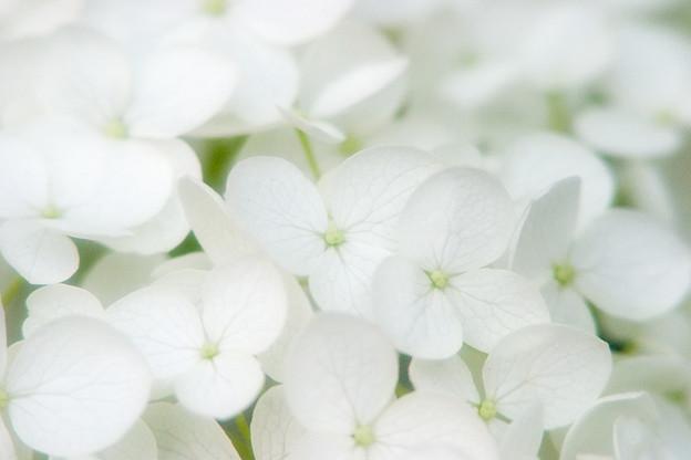 紫陽花_白山神社_25