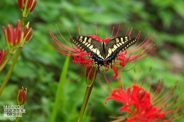 彼岸花とアゲハチョウ (2)
