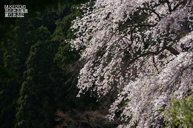 黒船の桜 (13)