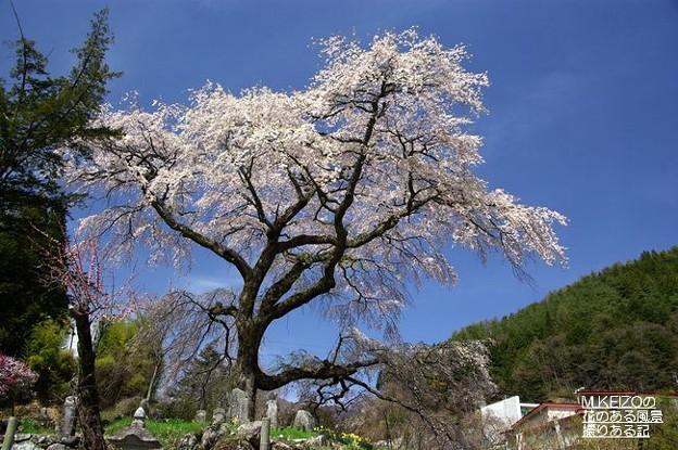 黒船の桜 (6)