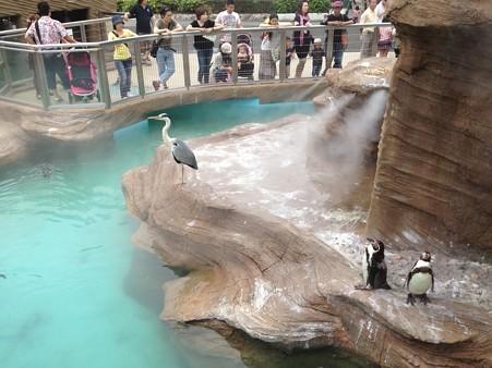 東山動植物園_198:ペンギン舎にアオサギ!?