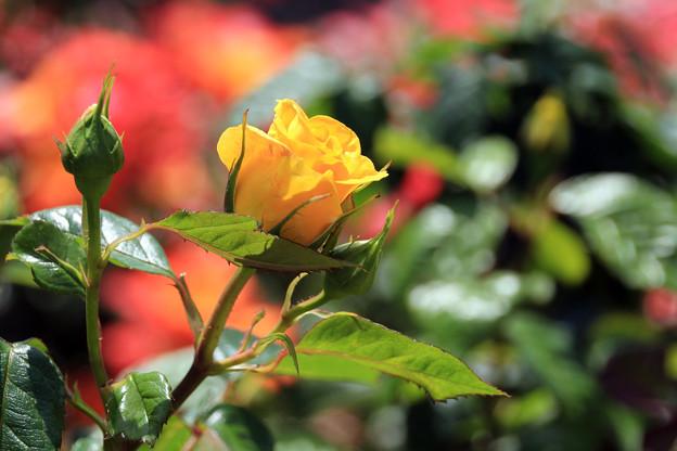 Photos: 孤高に咲いて