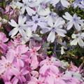 花壇のサクラソウ