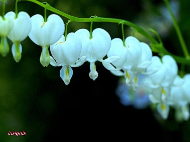 白花鯛釣草.......