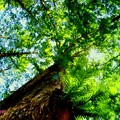 Metasequoia.......