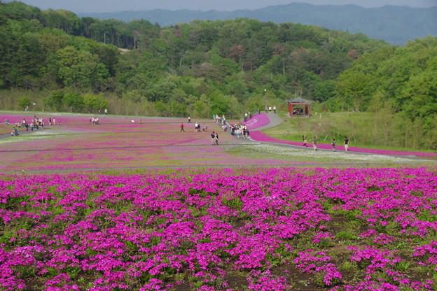 Photos: 花のじゅうたん