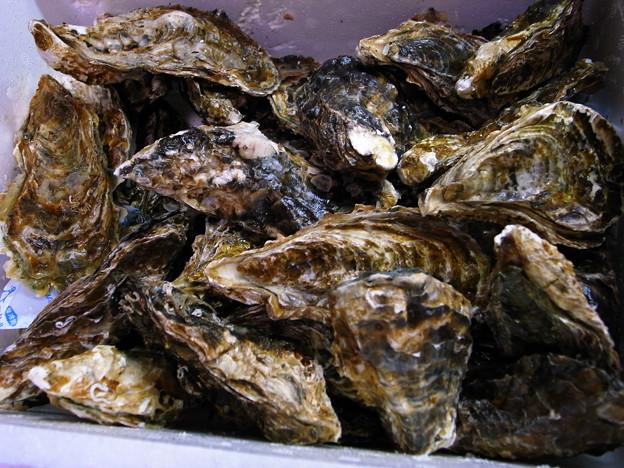写真: 牡蠣累々