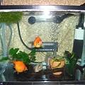Photos: 金魚水槽 6,15
