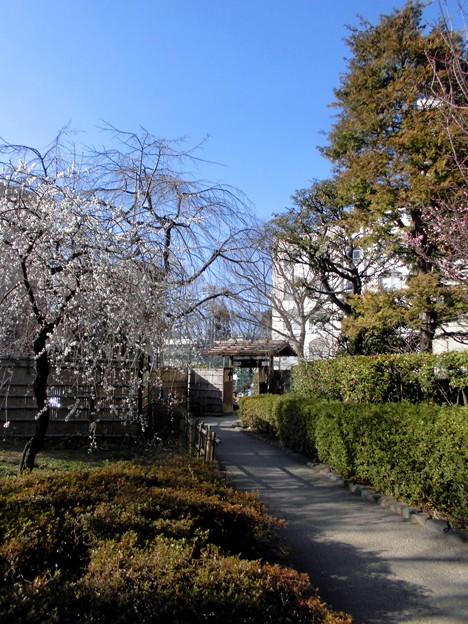 都電荒川線_早稲田駅界隈(早大側):甘泉園公園-02梅