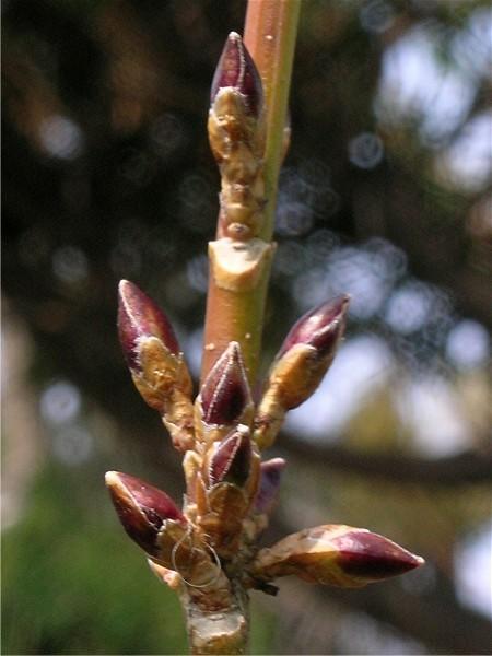 レンギョウの芽